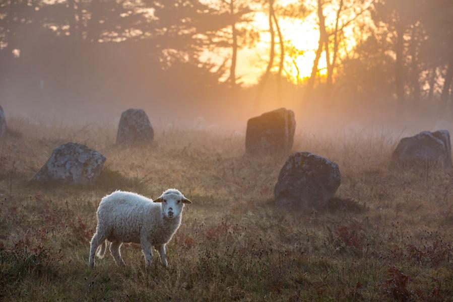 Un mouton dans les menhirs de Carnac